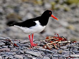 Oyster Catcher #1