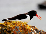 Oyster Catcher #2