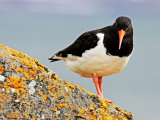 Oyster Catcher #3