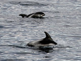 Solitary Dolphins