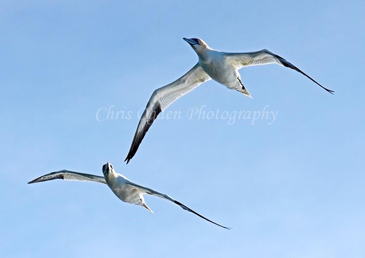 Gannets in Flight #1