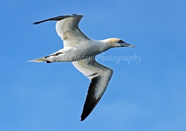 Gannet in Flight #2