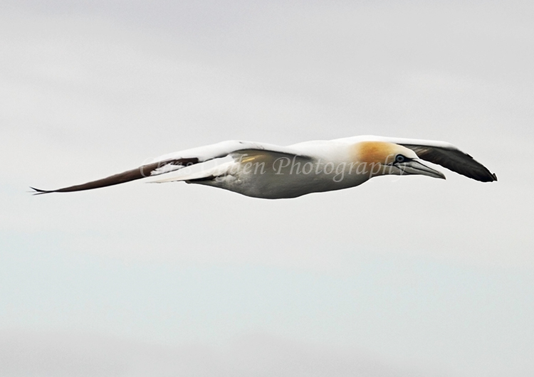 Gannet in Flight #4