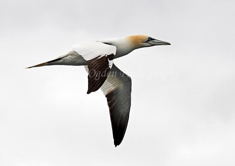 Gannet in Flight #5