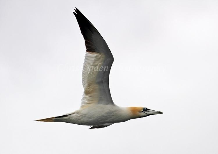 Gannet in Flight #6