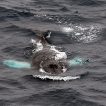 Surfacing Humpback Whale
