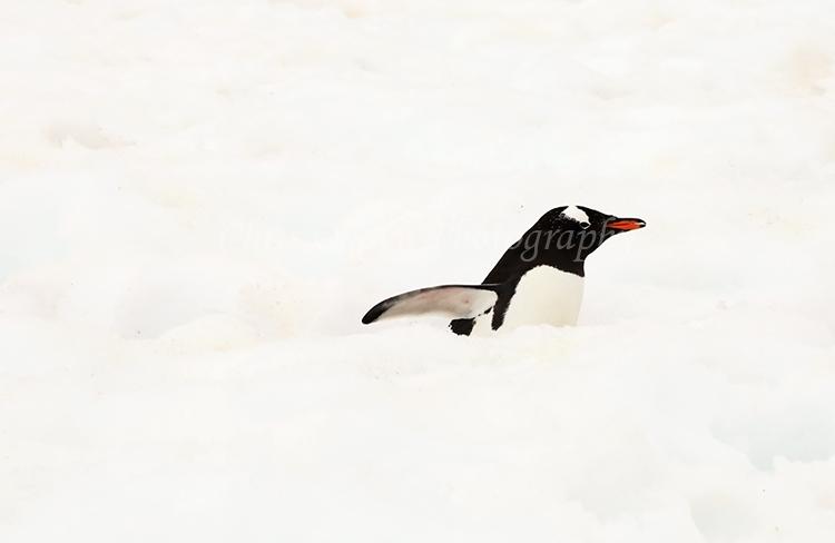 Gentou Penguin