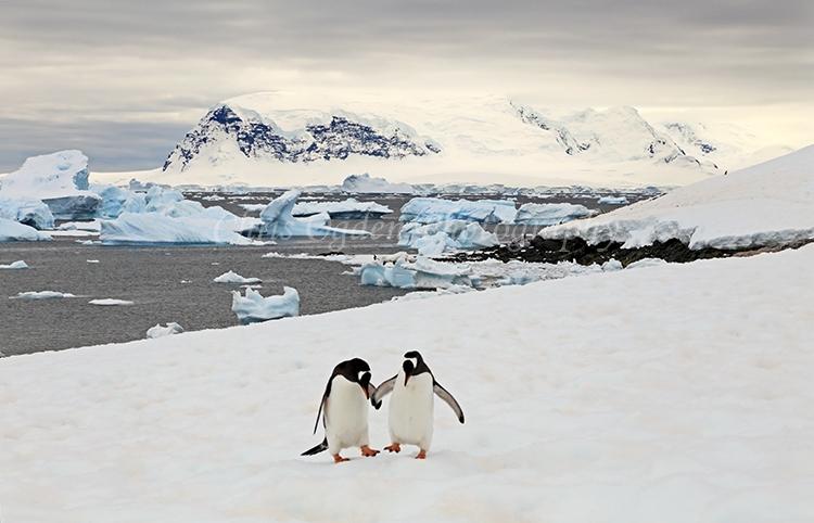 Gentou Penguins