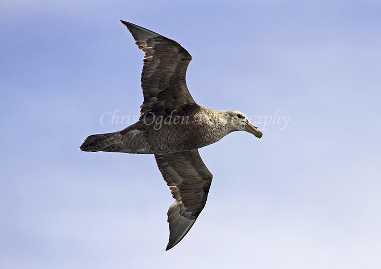Flying Petrel #2
