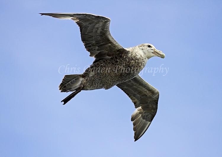 Flying Petrel #4