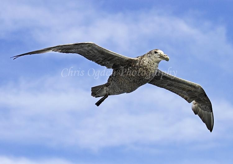 Flying Petrel #5