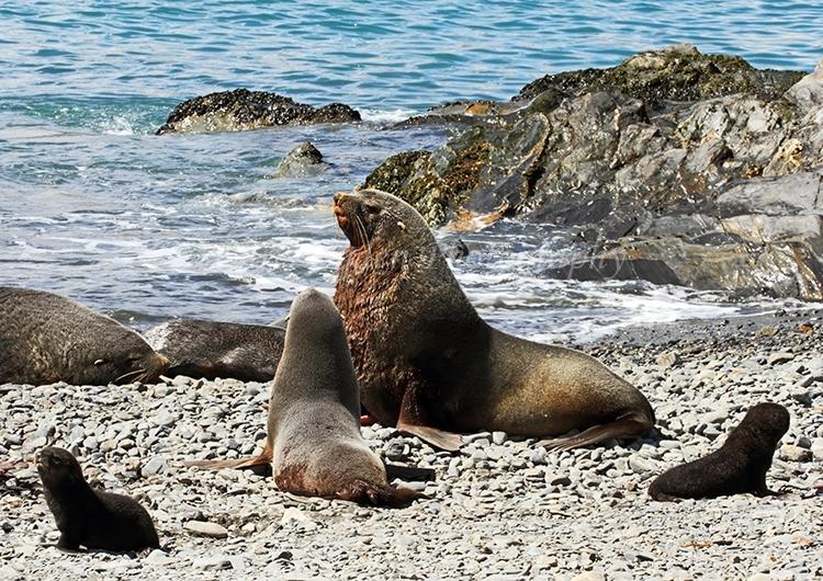 Fur Seal Family