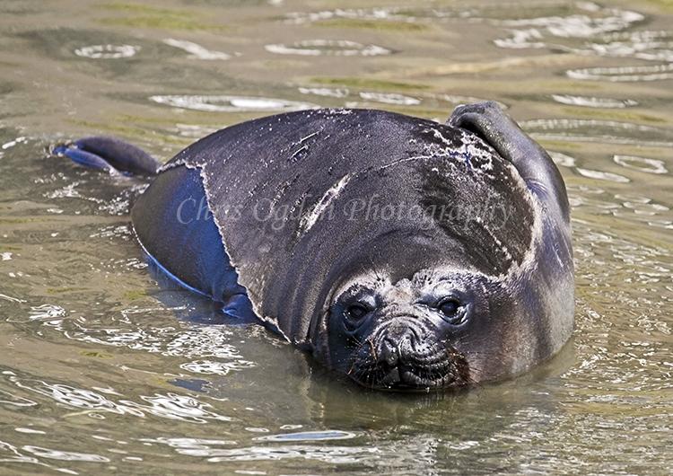 Fur Seal #2