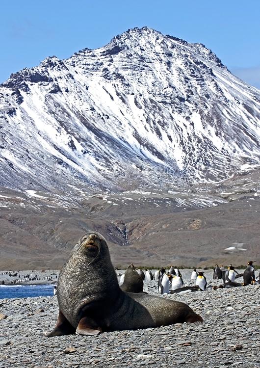 Fur Seals and King Penguins