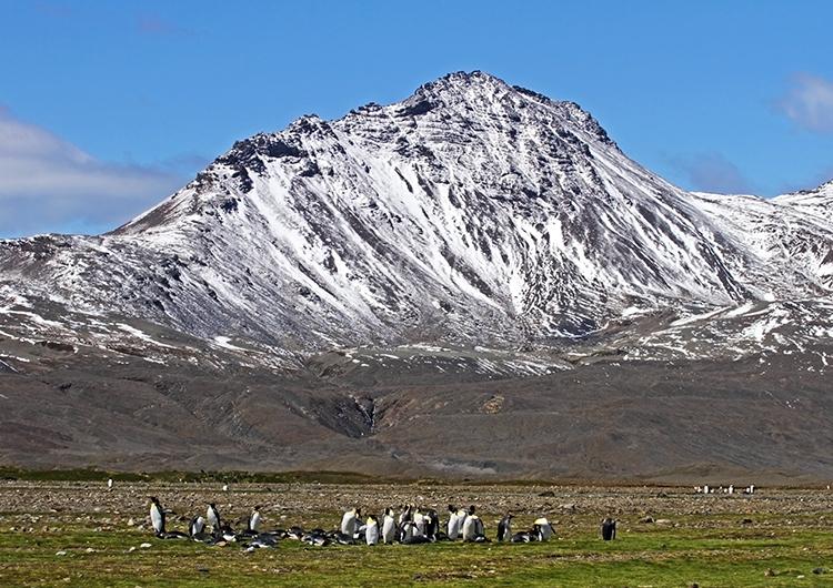 King Penguin Colony #4
