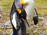 King Penguin Preening