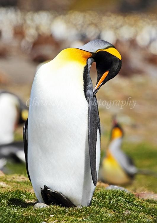 King Penguin Preening #2