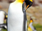 King Penguin Preening #2