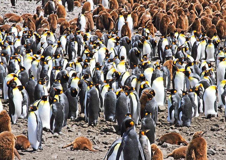 King Penguin Colony #5