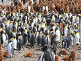 King Penguin Colony #5