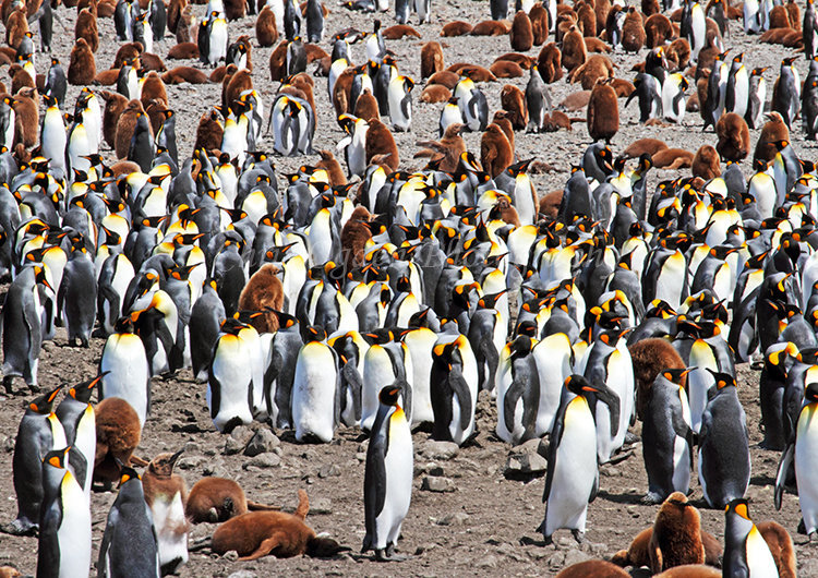 King Penguin Colony #6