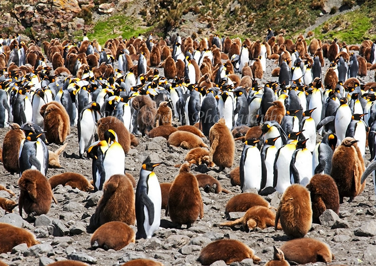King Penguin Colony #7