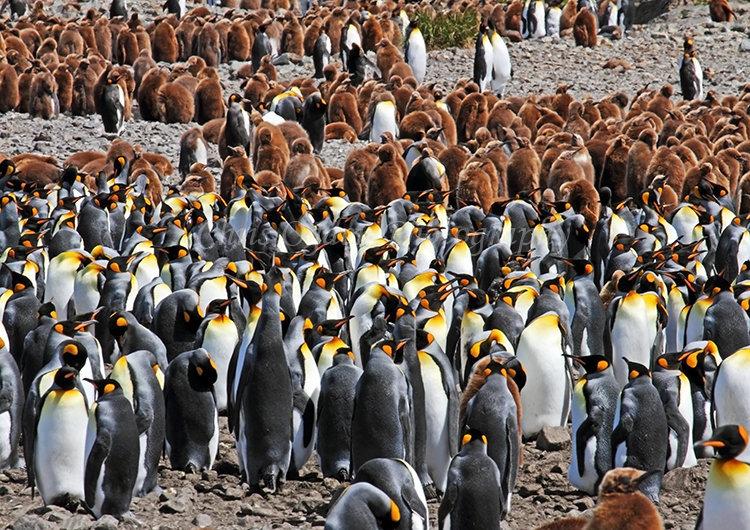 King Penguin Colony #8