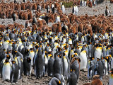 King Penguin Colony #8