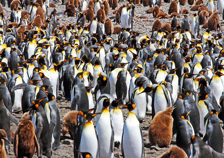 King Penguin Colony #9