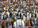 King Penguin Colony #9