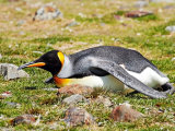 King Penguin Resting