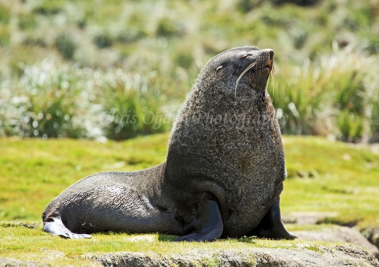 Fur Seal #3