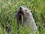 Fur Seal #4