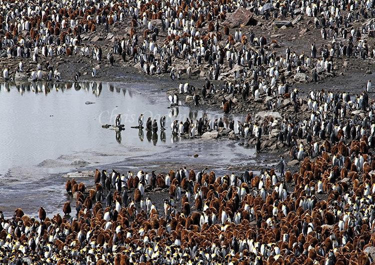 King Penguin Colony #3