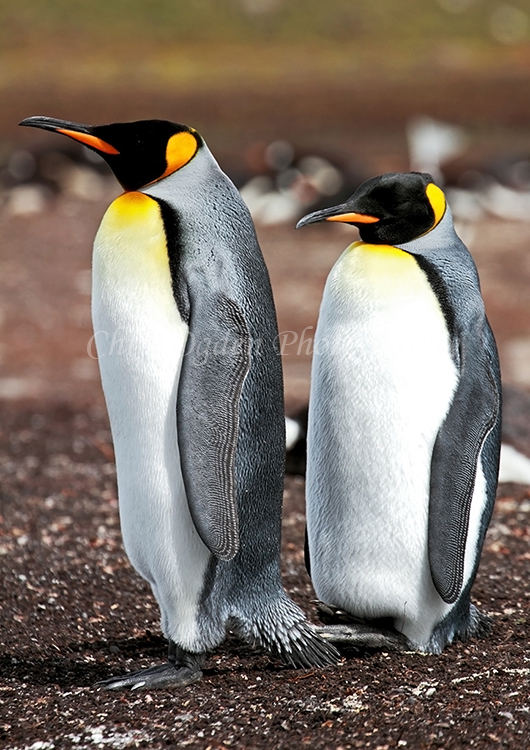 Male and Female King Penguins