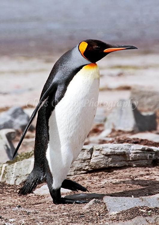 King Penguin #3