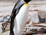 King Penguin #3