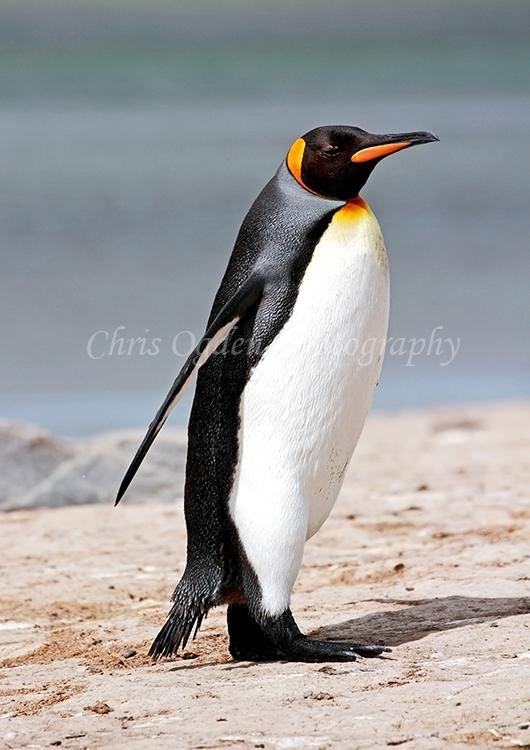 King Penguin #4