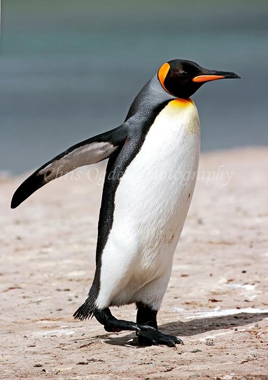 King Penguin #5