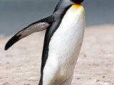 King Penguin #5