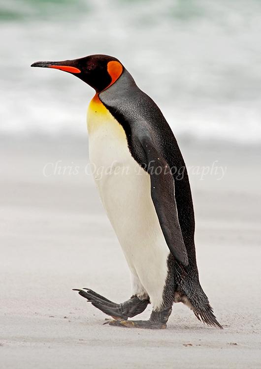 King Penguin #7