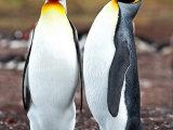King Penguin #8
