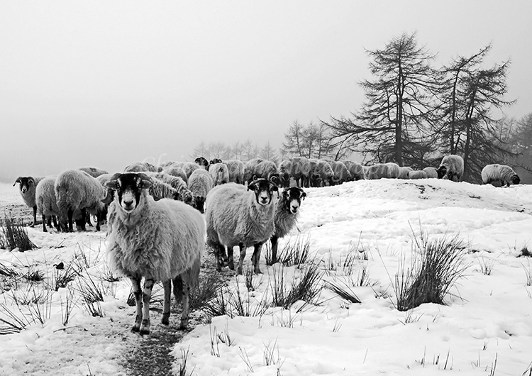 Winter Sheep #2