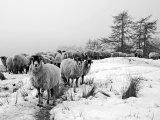 Winter Sheep #2