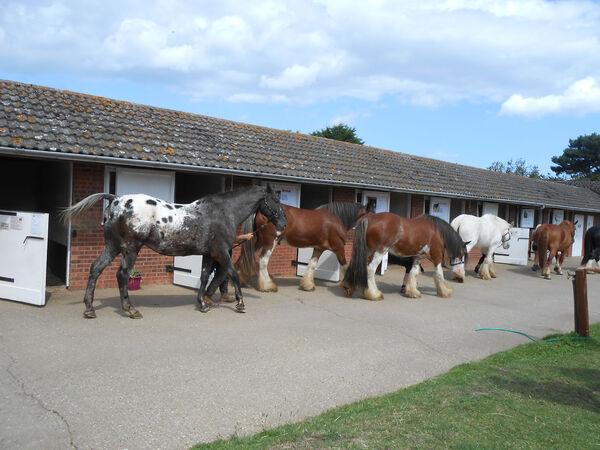 Hillside Shire Horse Sanctuary  West Runton Norfolk