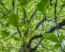 Elm Tree at Culag Woods