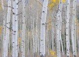 Aspen in the fall 7