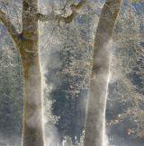 Steaming Black Oaks