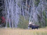 Moose at Moose 2