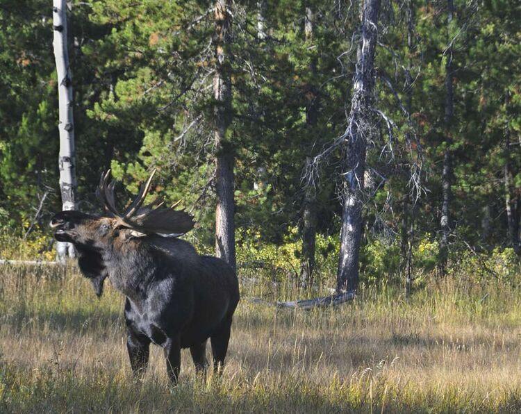 Moose at Moose 3